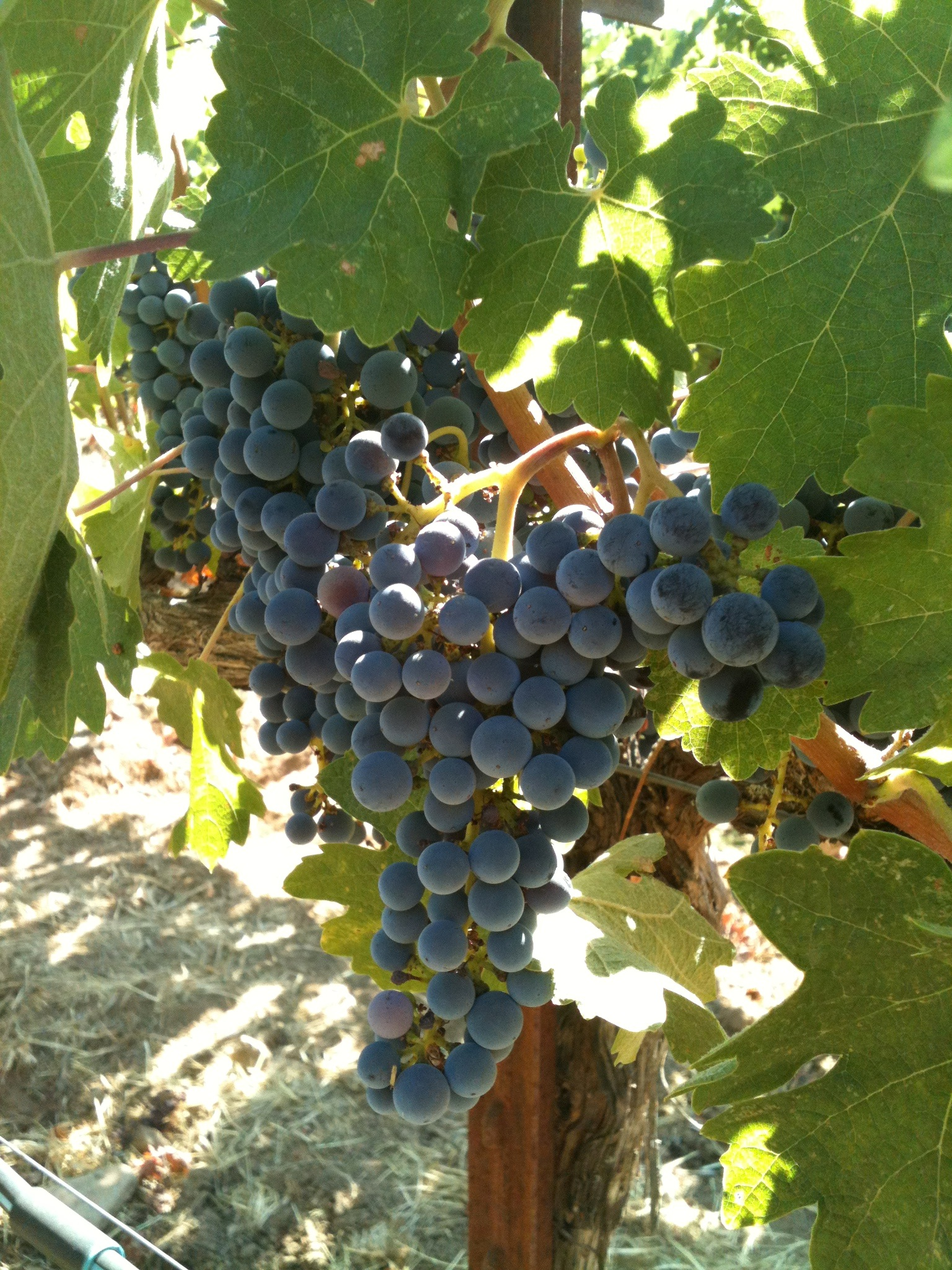 26 brix - Table grapes vs wine grapes ...