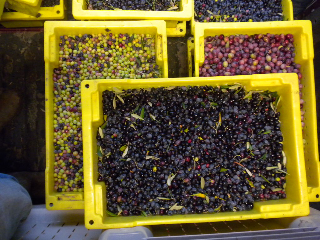 Varieties of olives at the Frate Sole orchard