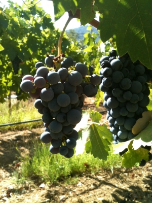 2012 Zinfandel Grapes