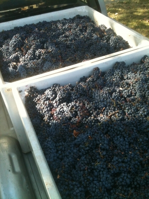 Macro Bins with Zinfandel Grapes