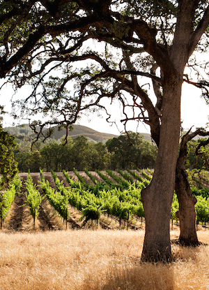 Oaks and Vineyards at Six Sigma